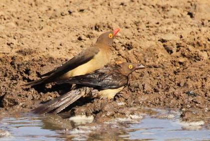 Red-billed Oxpeckers - adult and juvenile