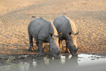 Rhino - twins