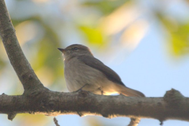 African Dusky Flycatcher - John
