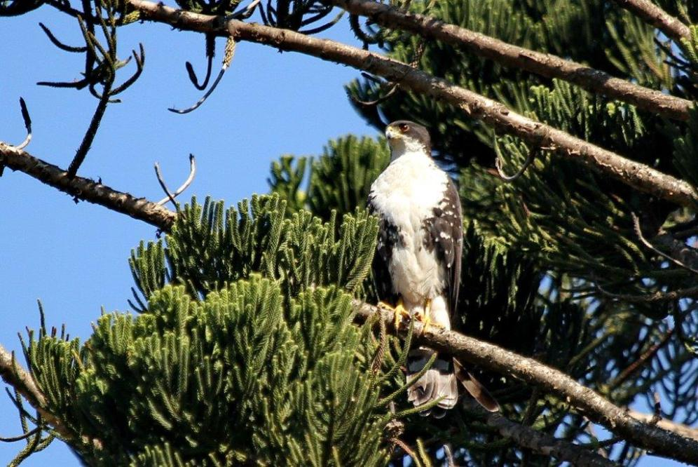 Black Sparrowhawk - adult -PB