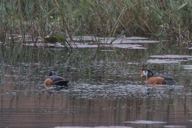 African Pygmy-Geese - male and female