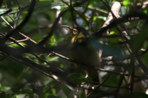 Fledgling Olive Sunbird showing bright orange gape- John-Bremner