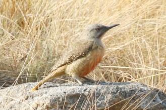 Ground Woodpecker