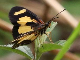 Yellow-banded Acraea - Mike Jackson