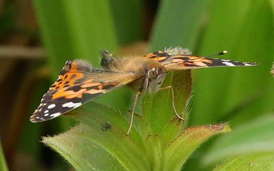 Painted Lady - Mike Jackson