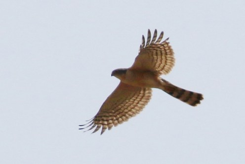 Rufous-chested Sparrowhawk