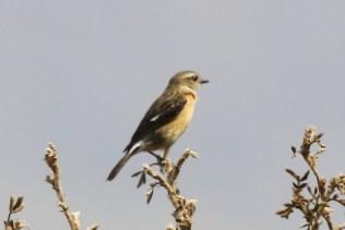 Buff-streaked Chat - female
