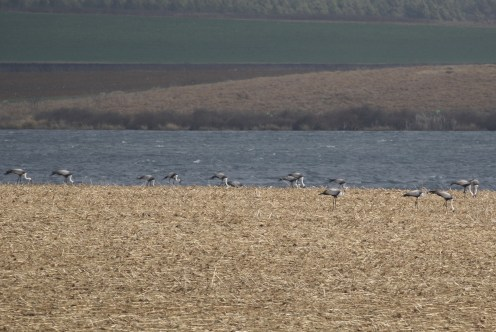 Some of the 30 Wattled Cranes
