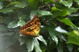 Green-veined Charaxes