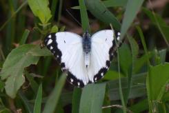 Common White