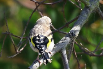 European Goldfinch - juvenile