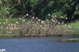 Village and Yellow Weavers -nesting on the island