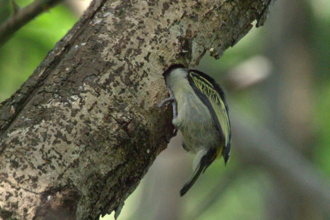 Yellow-rumped Tinkerbird -excavating its nest