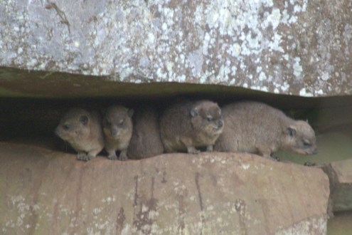 Dassies sheltering from the rain