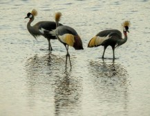 Grey-crowned Cranes (Tony Bevis)