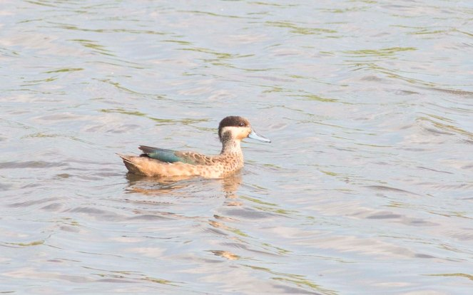 Hottentot Teal (Ryan Ramsamy)