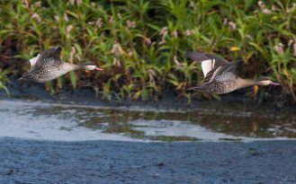 Red-billed Teals (Ryan Ramsamy)