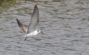 White-winged Tern  (Ryan Ramsamy)