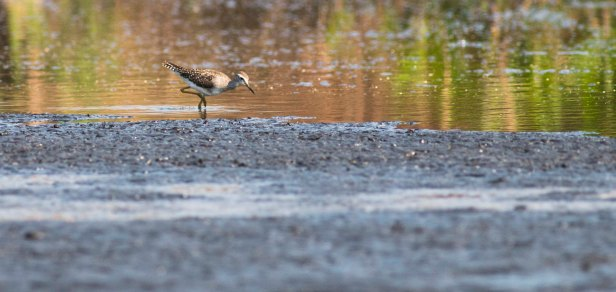 Wood Sandpiper (Ryan Ramsamy)
