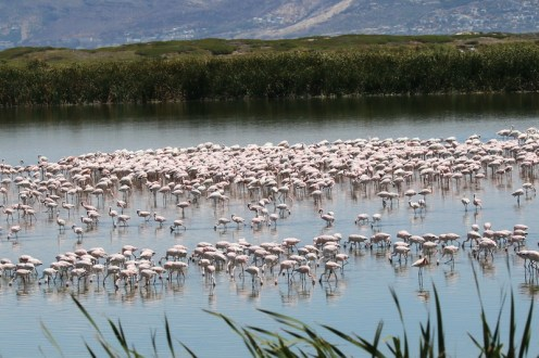 A congestion of Flamingos - Greater and Lesser