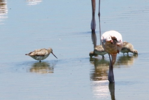 Bar-tailed Godwits among the Flamingos