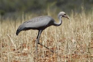 Blue Crane - juvenile