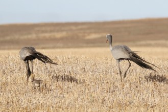 Blue Cranes and chick. Chick using its tiny wings to stay upright in the stubble