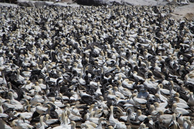 Cape Gannet Colony - a heaving mass