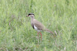 Crowned Lapwing_