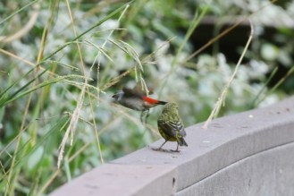 Forest Canary and Swee Waxbill