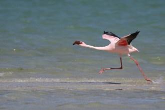 Lesser Flamingo getting into flight mode - faster still