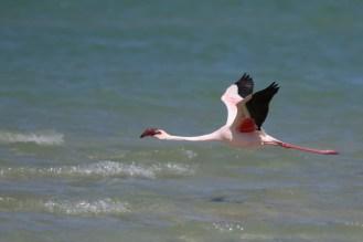Lesser Flamingo getting into flight mode - away we go.