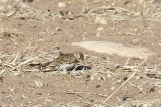 Large-billed Lark - juvenile