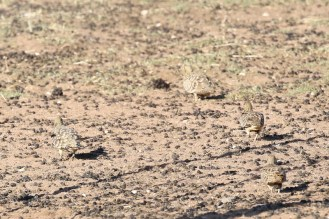 Namaqua Sandgrouse - male and 3 females