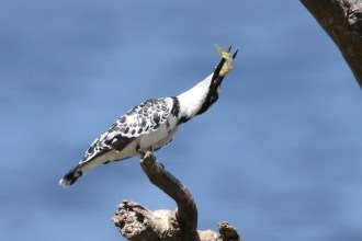 Pied Kingfisher - male twisted with fish
