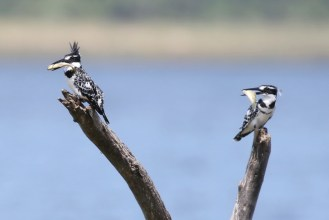 Pied Kingfishers -male and female with fish