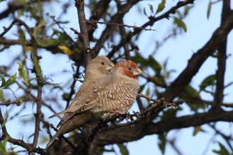 Red-headed Finches - male and female