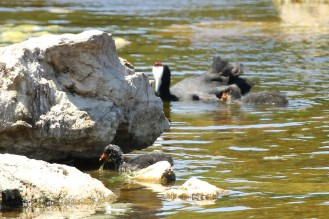 Red-knobbed Coot and chicks