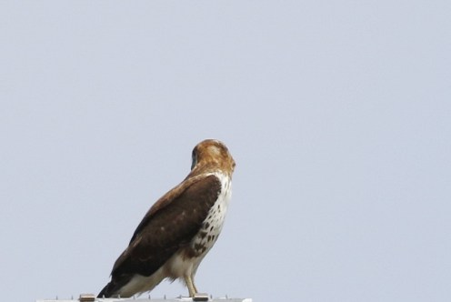 Red-necked Buzzard