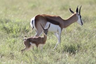 Springbok and new born