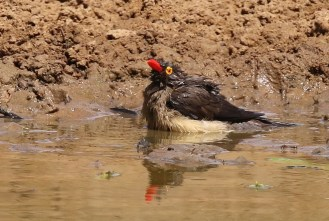 Red-billed Oxpecker - bath time