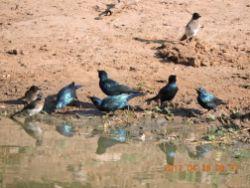 Black-bellied Starlings