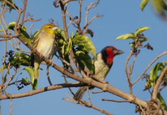 Village Weaver and Black-collared Barbet
