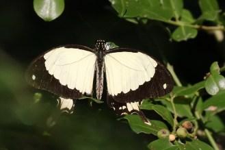 Mocker Swallowtail - male