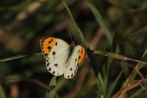 Sulphur Orange Tip - female