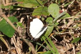 Vine-leaf Vagrant
