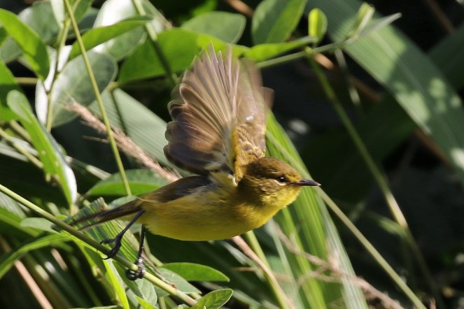Dark-capped Yellow Warbler in flight