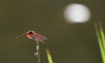 Dragonfly - Red-veined Dropwing