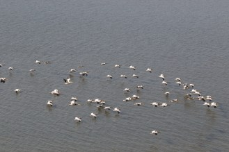 Great White Pelican fly-by