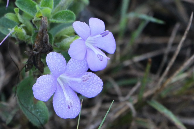 Barleria with morning dew